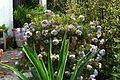 Hebe diosmifolia - Flickr - peganum.jpg