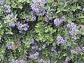 Hebe flowers (6709071369).jpg