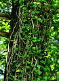 Hedera helix - leaves.jpg