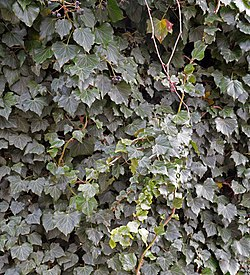 Hedera helix with fruits.jpg