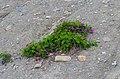 Hedysarum boreale D5100.jpg