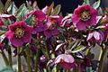 Heleborus purpurascens.jpg