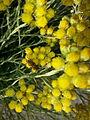 Helichrysum italicum.jpeg