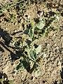 Heliotropium europaeum sl24.jpg