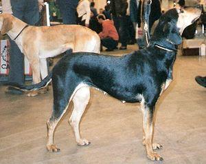Greek Harehound - Hellenikos Ichnilatis
