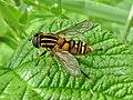 Helophilus pendulus (Syrphidae) - (imago), Arnhem, the Netherlands.jpg