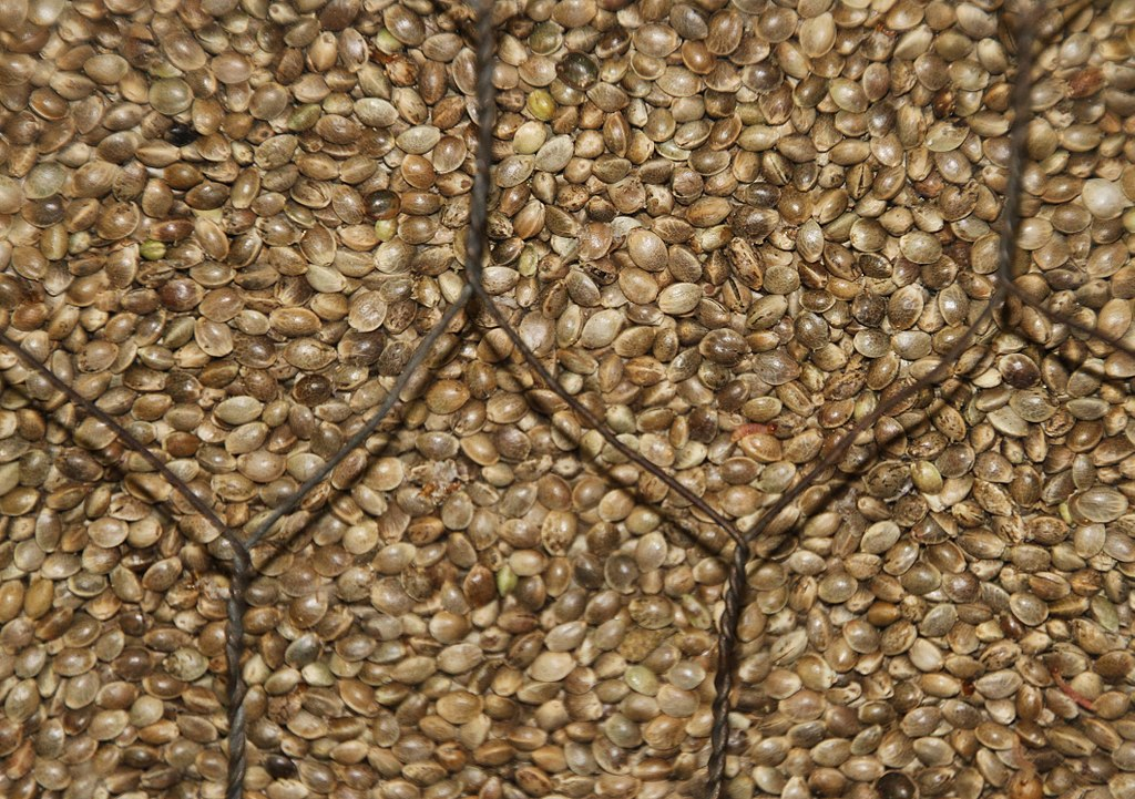 image of hemp seeds