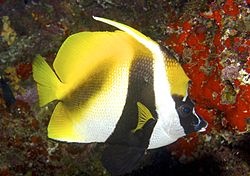 Heniochus monoceros Masked Bannerfish by Nick Hobgood.jpg