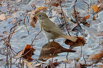 Vermont - The hermit thrush, the state bird of Vermont