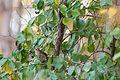 Hermit thrush (24986683485).jpg