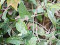 Hewittia malabarica (L.) Suresh (6777692110).jpg