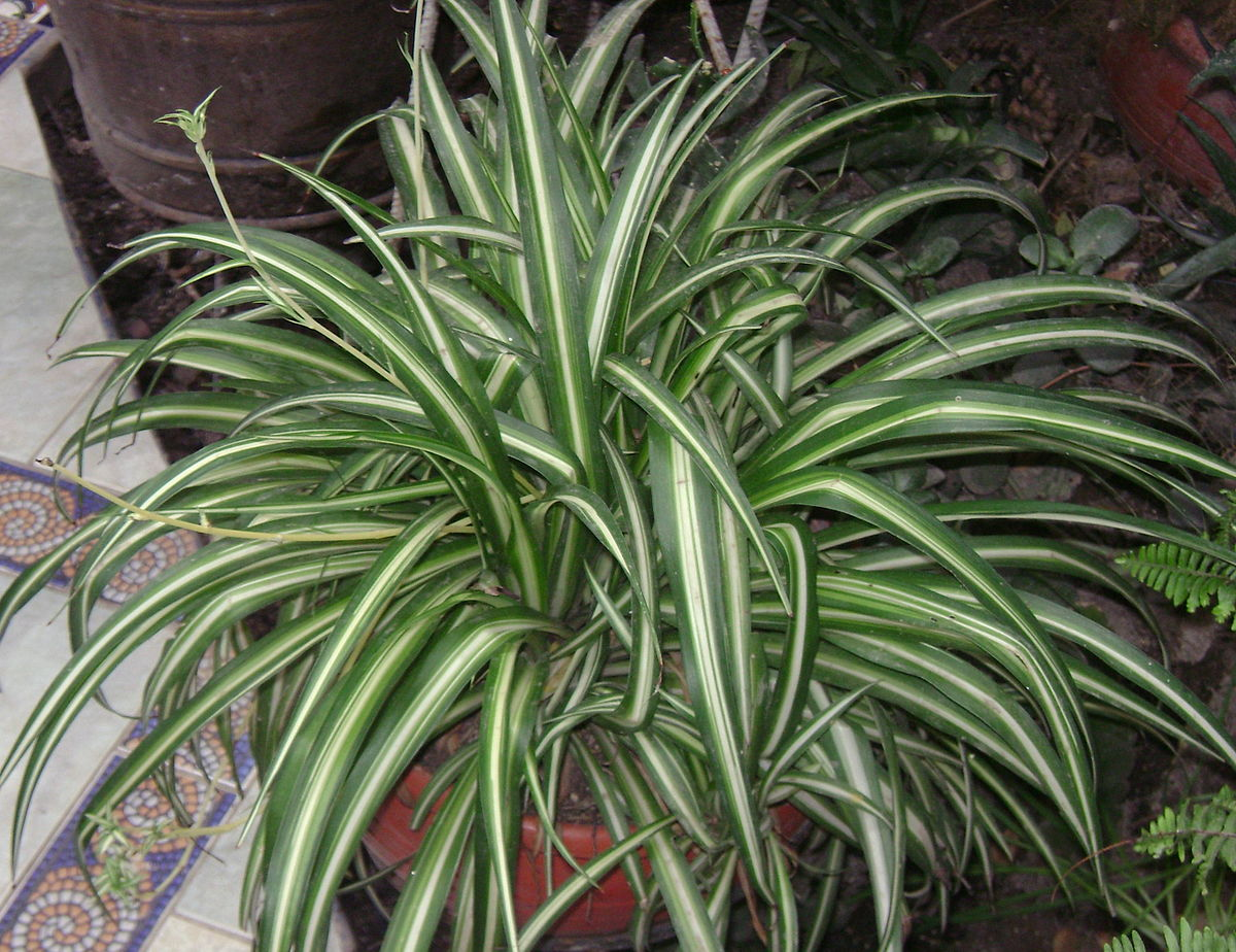 Chlorophytum comosum wikipedia for Plante interieur