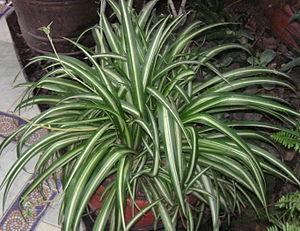 Chlorophytum comosum - Chlorophytum comosum 'Vittatum'