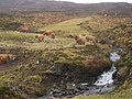 Highland Cattle - geograph.org.uk - 106335.jpg