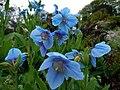 Himalayan Blue Poppy (Meconopsis grandis) - Jura House Gardens - geograph.org.uk - 1327483.jpg