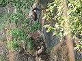 Himalayan Griffon (Himalayan Vulture) - Gyps himalayensis - P1040546.jpg
