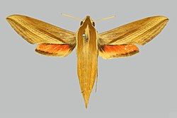 Hippotion echeclus BMNHE274916 female up.jpg