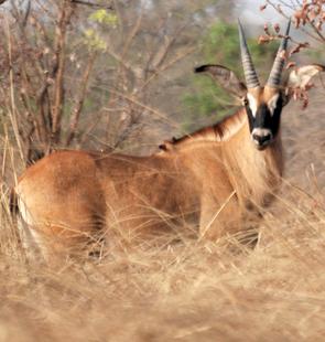 Pferdeantilope (H. e. koba) im Pendjari-Nationalpark