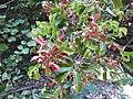 Hiptage benghalensis-1-mundanthurai-tirunelveli-India.jpg