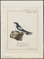 Hirundo albiventer - 1700-1880 - Print - Iconographia Zoologica - Special Collections University of Amsterdam - UBA01 IZ16700161.tif