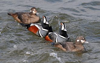 Harlequin duck - A pair of males flanked by a pair of females