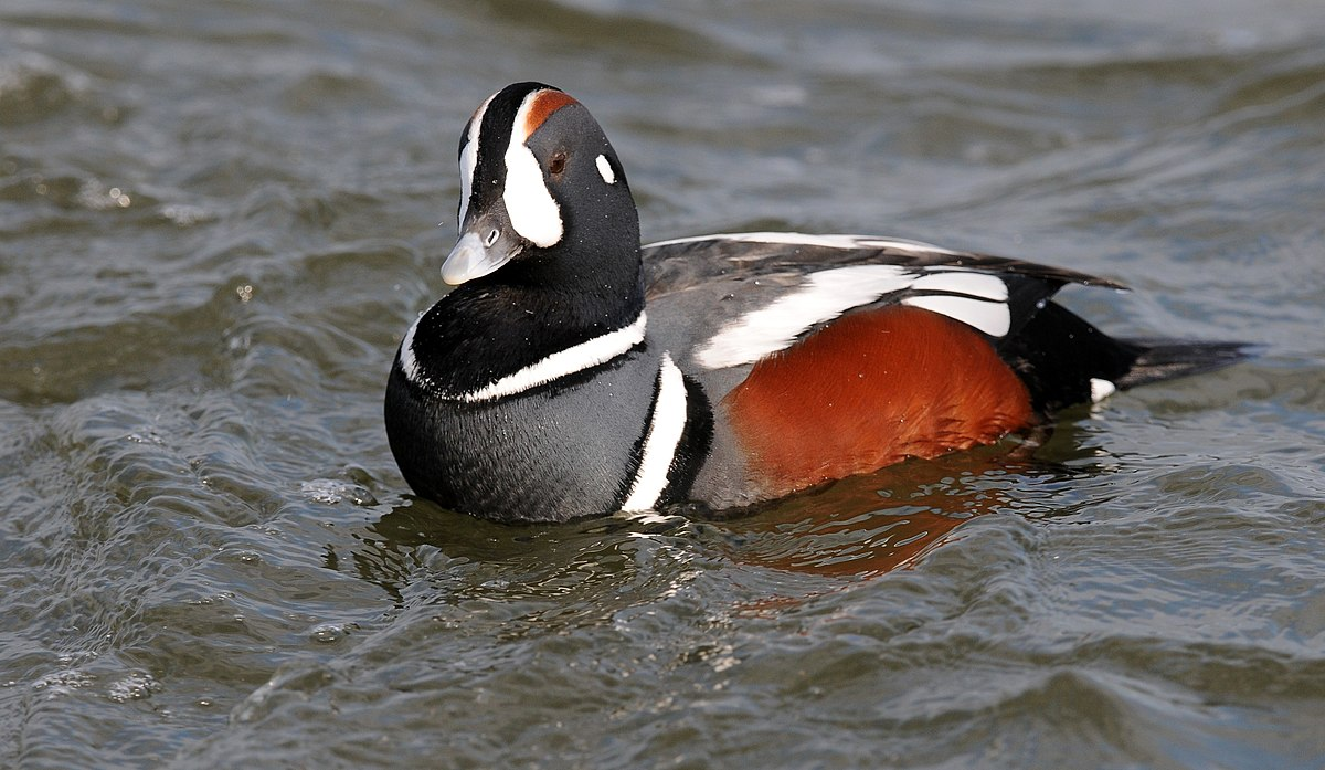 harlequin duck wikipedia