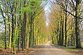 Hoge Erf Beechlane in the evening at 14 April 2015. The first leaves - panoramio.jpg