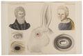 Homo sapiens - Albino - 1700-1880 - Print - Iconographia Zoologica - Special Collections University of Amsterdam - UBA01 IZ19600156.tif