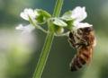 Honigbiene an Basilikumbluete 2006 08.jpg