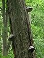 Hoof Fungus - Flickr - gailhampshire (2).jpg