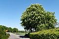 Horse chestnut trees in Brodalen 2.jpg