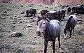 Horses in a field in Mudh, Himachal Pradesh, India.jpg