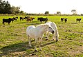 Horses in the Camargue 2.jpg