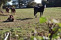 Horses near Pett - geograph.org.uk - 1540963.jpg