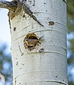 House wren nesting in an aspen on Beaver Pond Trail (3d90402a-9d79-406a-8829-0407ae8b499d).jpg