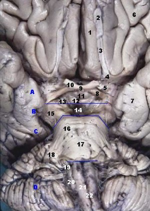 Straight gyrus - Image: Human brainstem anterior view 2 description