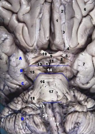 Olfactory tract - Image: Human brainstem anterior view 2 description