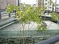 Human pillar of Fukushima bridge, Tokushima 2.jpg