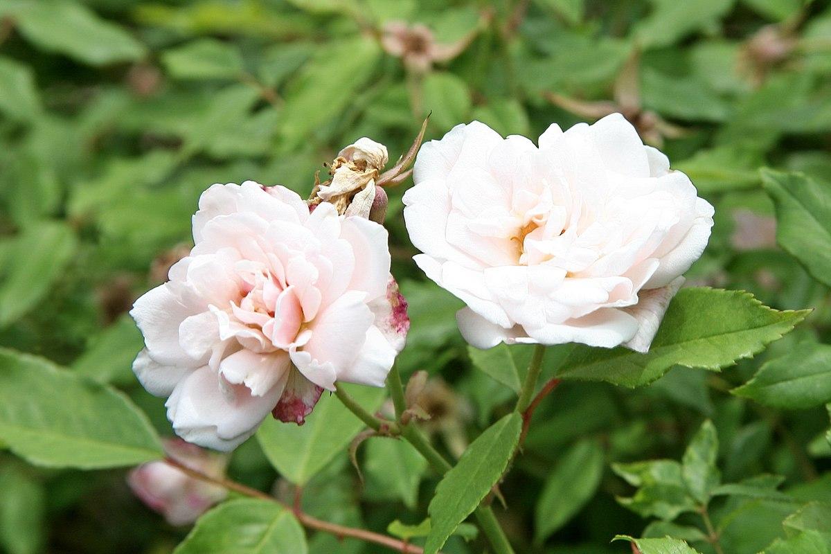 Rosa odorata wikispecies - Rosas chinas ...