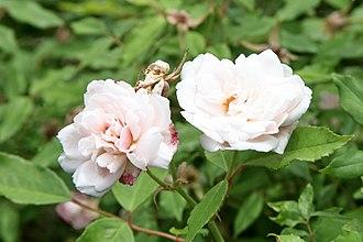 "Wormleybury - The rosa odorata ""Hume's Blush Tea-Scented"""