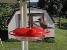 File:Hummingbird hovering in mid-air.ogv