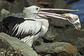Hungry Scarborough Pelican-1 (17465660670).jpg