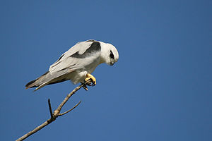 Black-shouldered kite - Hunting from a perch