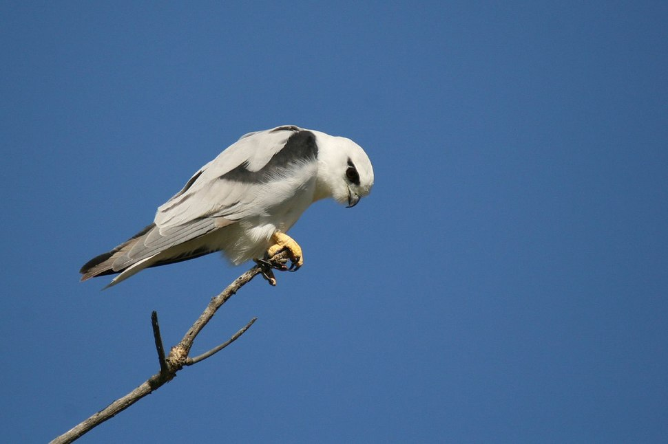 Hunting Black-shouldered Kite
