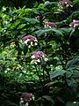 Hydrangea aspera sargentiana - Flickr - peganum.jpg