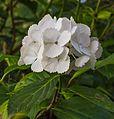 Hydrangea macrophylla. Een mooie witte hortensia bij avondlicht.jpg