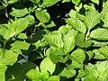 Hydrangea macrophylla Cardinal 0zz.jpg