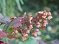 Hydrangea quercifolia Horensja dębolistna 2017-10-15 02.jpg