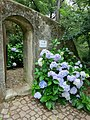 Hydrangeas on the walk to the Moorish castle (14654840524) (2).jpg