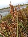 Hygrophila ringens, nir-chulli, erect hygrophila 2.jpg